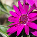 Pericallis by David S Wilson
