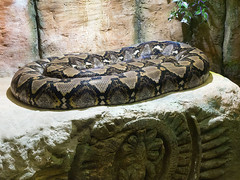 Memphis Zoo 08-31-2016 - Reticulated Python 1