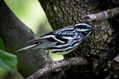 black & white warbler - first visit to kent gardens