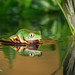 Reflection - Super Tiger Legged Waxy Monkey Leaf Frog D75_7249.jpg by Mobile Lynn