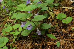 Glechoma hederacea L. - Ground Ivy