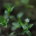 Three-nerved Sandwort - Moehringia trinervia