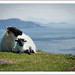 Small photo of Irish Sheep