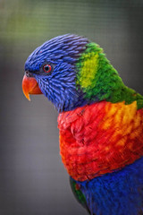 Lorikeet Profile