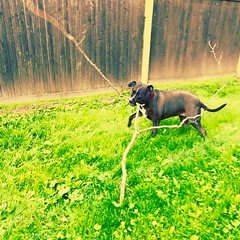 The benefits of having a #pitbull are that they are more than happy to break the branches that fall in the yard... #pitbulllove #pitbulladvocate #pitbulldad #vagabond