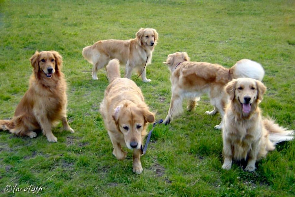 Image result for 犬 golden retriever  遊ぶ