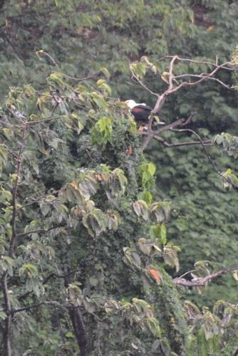 africa uganda jinja idindha sourceofthenile wildlife bird lake victoria eagle fisheagle nalubaale