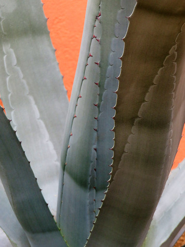 Cactus 'Agave' in the Hortus Gardens in Amsterdam, Holland