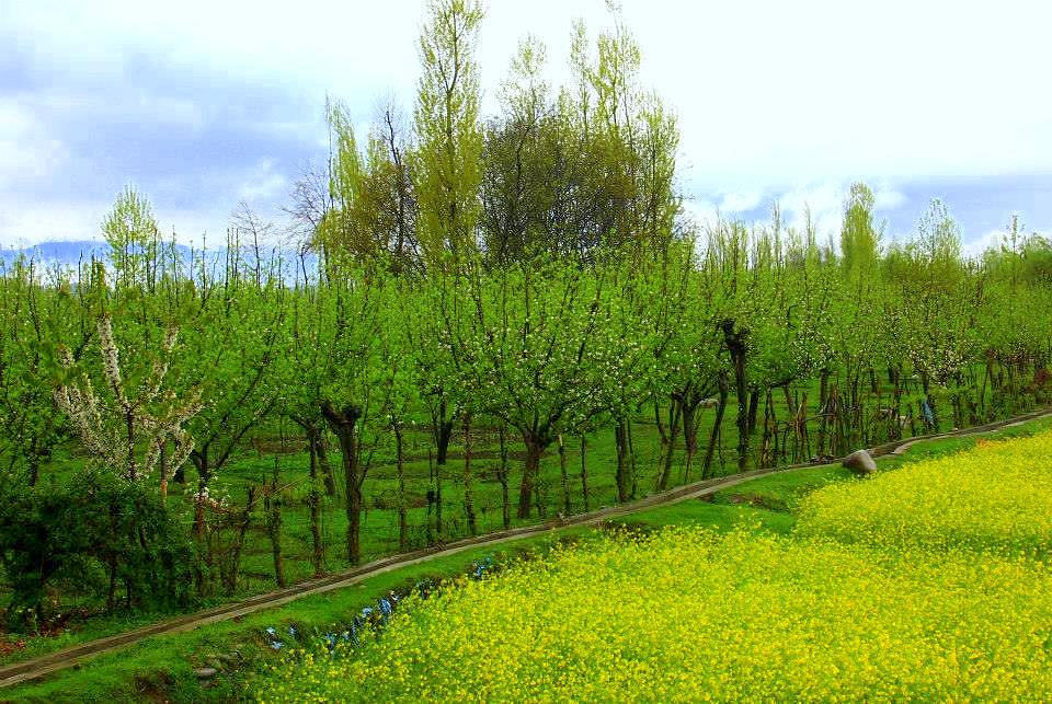 kokernag spring makes the apple trees bloom with white flowers