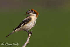 Woodchat Shrike