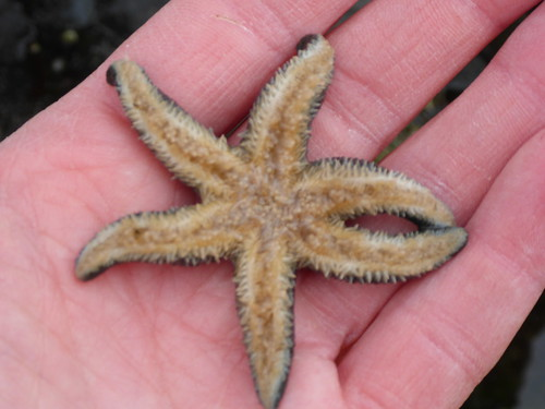 Six armed sea star - Leptasterias hexactis