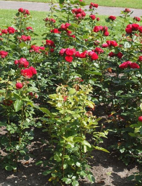 Hồng ngoại Red Piano rose có chiều cao trung bình khoảng 1m (Nguồn ảnh: helpmefind)