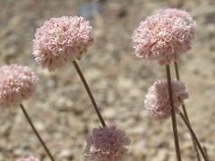 Steamboat buckwheat, Eriogonum ovalifolium var. williamsiae