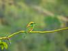 Juvenile Green bee-eater (பச்சை பஞ்சுருட்டான்)