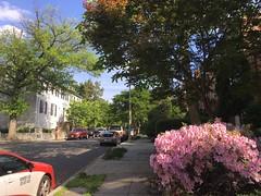 Pink azalea and taxi opposite Ivanka Trump's house, Kalorama, Washington, D.C.