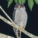 Black and White Owl (Ian Talboys)
