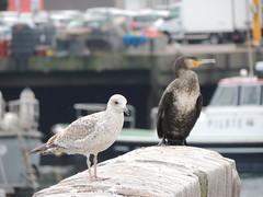 goéland argenté et cormoran