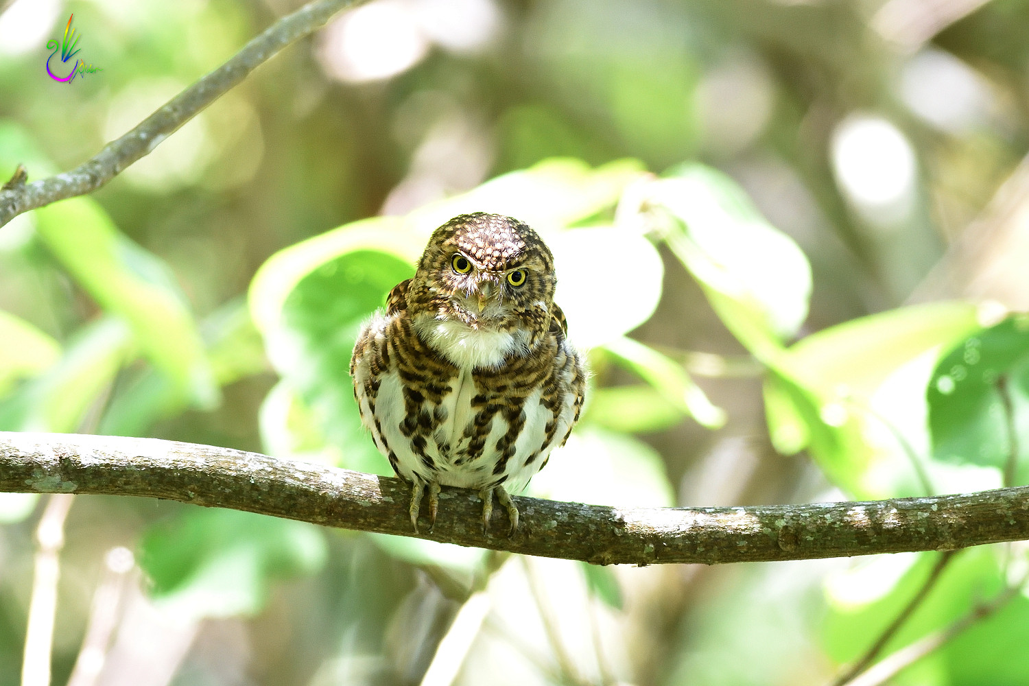 Collared_Pigmy_Owlet_4213