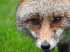 3rd  may 2017 Foxes 047