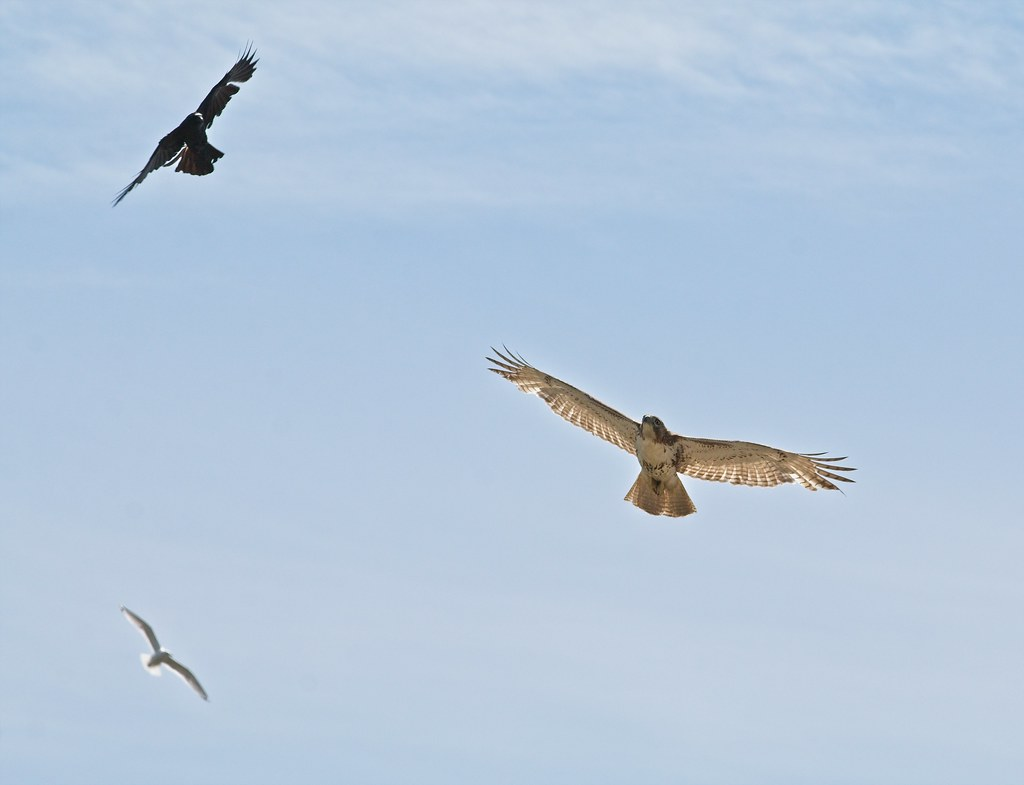 Crow, red-tailed hawk and gull