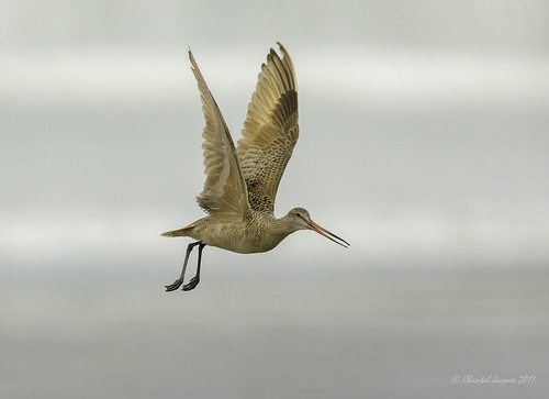Spread your wings- Marbled Godwit Style