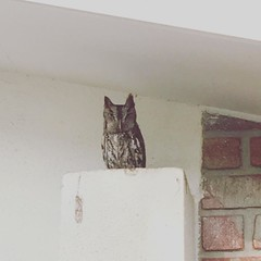 Our beloved #owl family has returned for year three of breeding in our eaves.  I am honored!! #nature #bird