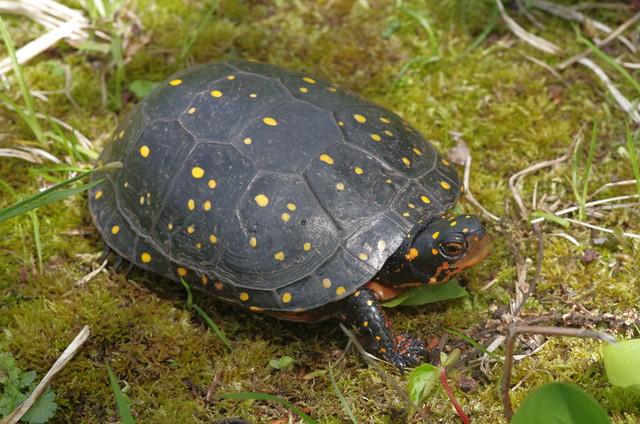 Spotted Turtle - Clemmys, Pentax K-30, smc PENTAX-D FA 100mm F2.8 Macro