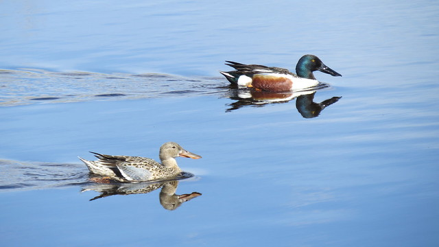 A picture of a shoveler pair on the Pakowki transect in stratum 29.  Photo credit: Michelle Chupik