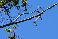 Entebbe, Uganda - Entebbe Botanical Gardens - Woodland Kingfisher
