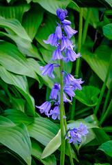 Harebells (Campanula rotundifolia) 3-8318