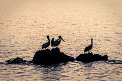 Pelicans at sunrise  - Bahia Drake, Costa Rica