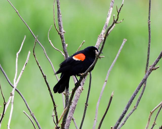 Red-winged Blackbird, Nikon D7000, Sigma Macro 50mm F2.8 EX DG
