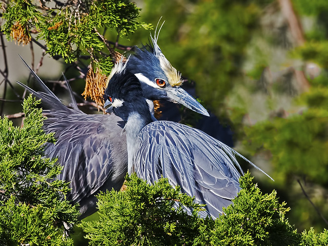 Yellow-crowned Night Herons Hug It Out