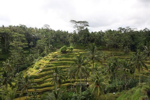 Rice terraces . Ubud