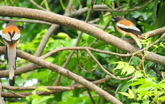 Rufous (Indian) Treepie