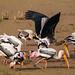 Painted Storks - Koladeo Reserve  (Neil Pont)