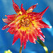 Red-washed vuurvogel dahlia by Pensive glance