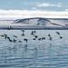 Guillemot flock in Nordauslandet (Robin Couchman)