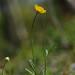 Ranunculus bulbosus (Bulbous Buttercup)