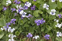 violets and grass