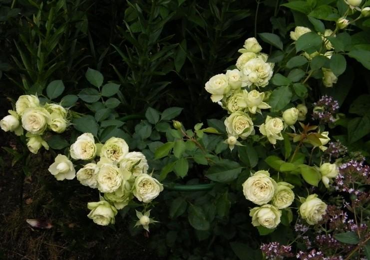 Một bụi hoa hồng ngoại Lovely Green rose (ảnh sưu tầm)