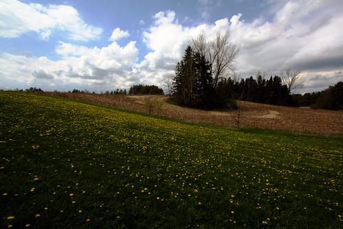 dandelion field springtime king ontario canada may 2017