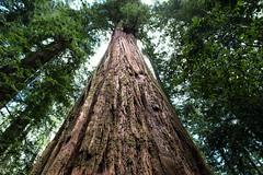 Parson Jones Tree