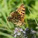 Queen of Spain Butterfly (Judith Rolfe)