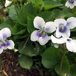 Wild+Violets