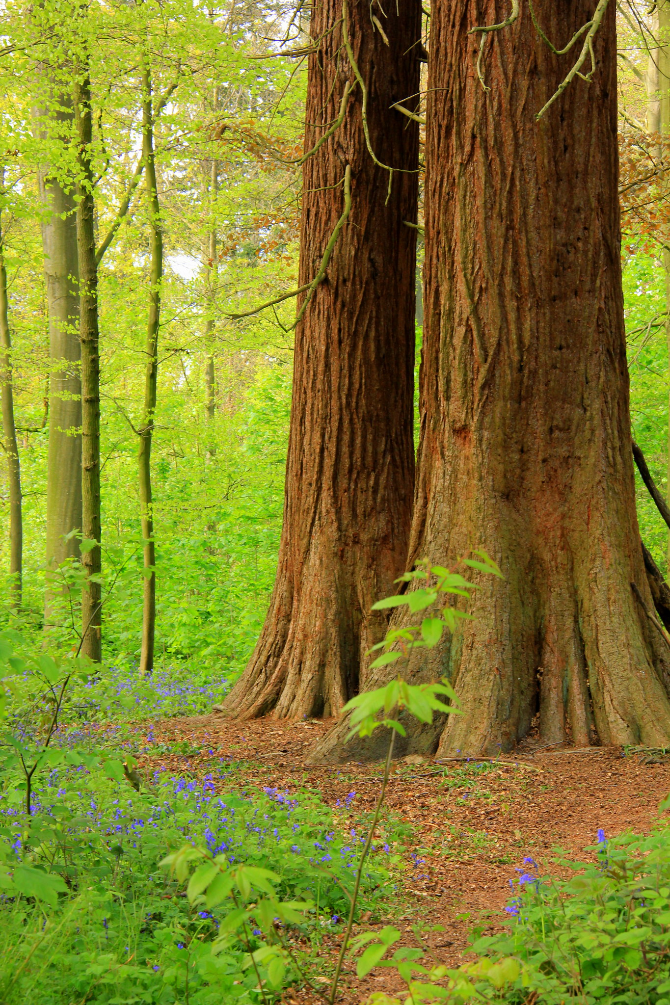 hallerbos has beautiful old trees which were planted after world war ii