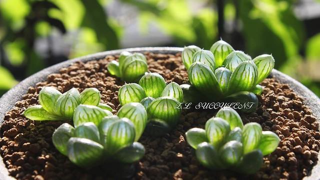 分株四个月,宝宝们长的还快。 ベリア#サボテン#ไม้อวบน้ำ #กระบองเพชร#succulents#succulove#vetplanten#Sukkulent#suculentas#sukulenty#Суккуленты#plants#plantagram#canon#ZLsucculent#Haworthia