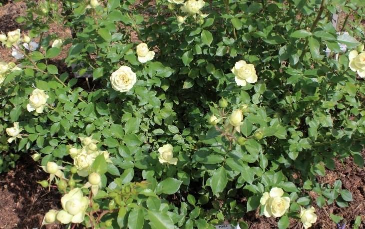 Lovely Green rose có rìa lá dúng nhẹ