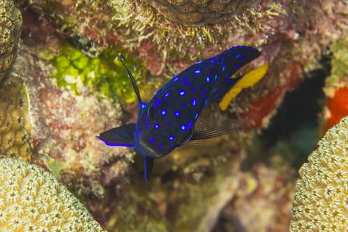 bonaire bonairesinteustatiusandsaba caribbean microspathodonchrysurus underwater color damselfish diverdoug fish juveniledamselfish marine ocean reef sea spots underwaterphotography yellowtaildamselfish