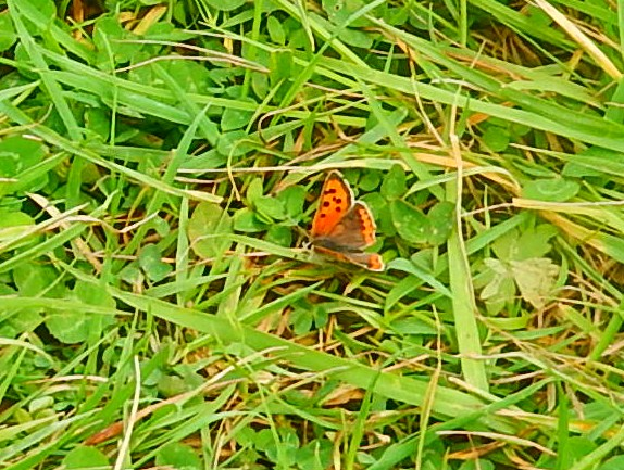 Small Copper Thame Circular